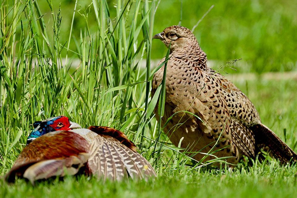 male and female pheasants in green Cornish garden