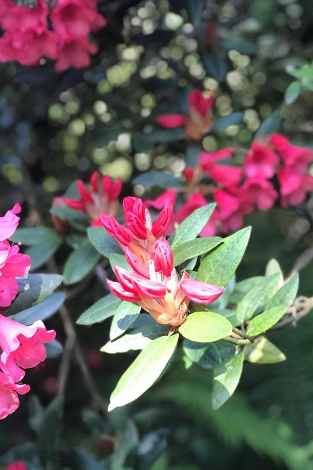pink flowers in Cornish garden