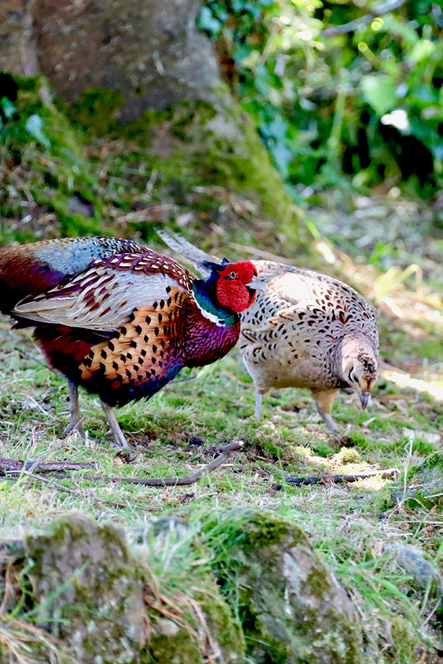 pheasant couple in sunshine