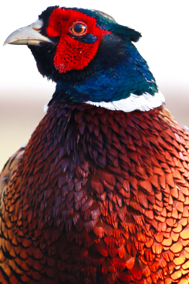 close up of orange feathered pheasant