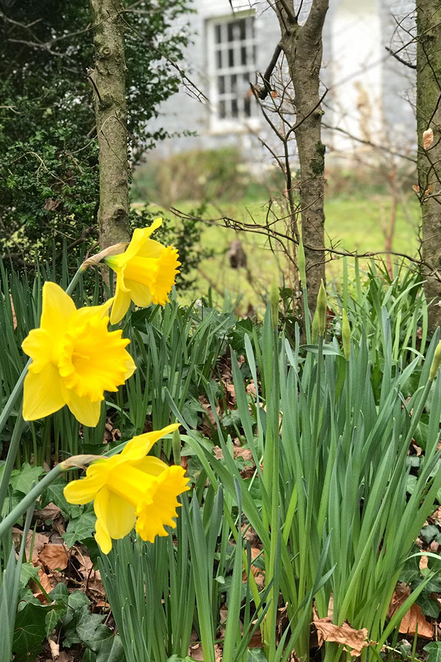 spring yellow daffodils Cornish country garden