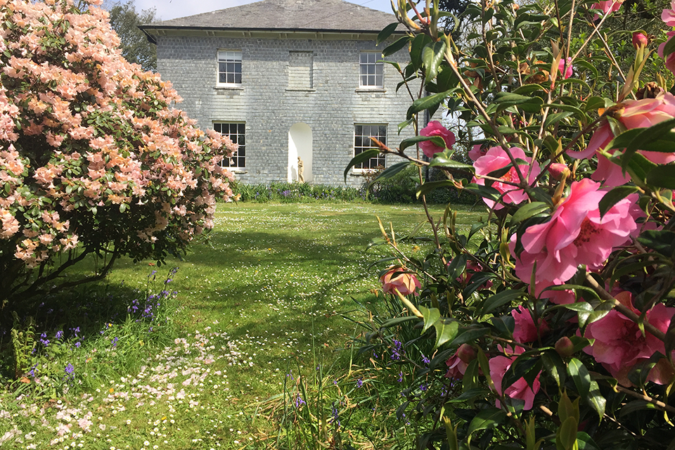 pink camelias in country house garden Cornwall