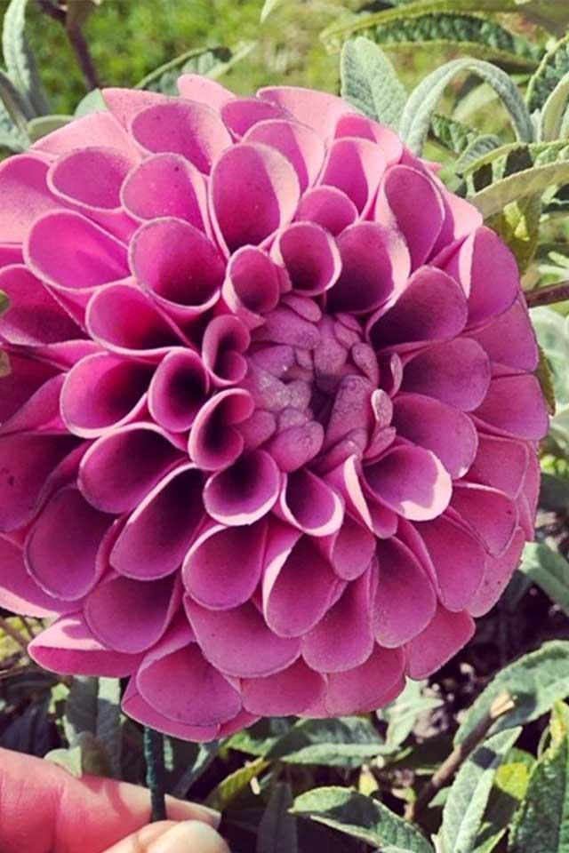 bright pink fuschia dahlia sugar flower