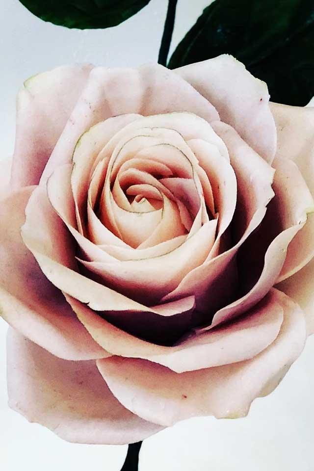 delicate blush pink sugar rose