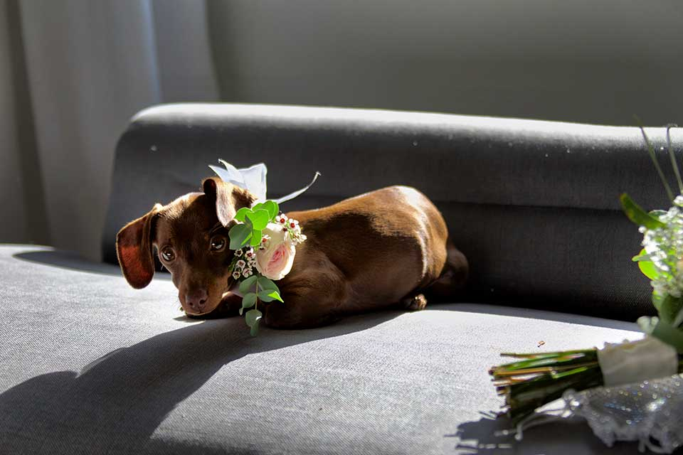 sausage dog with flowers on collar on wedding day